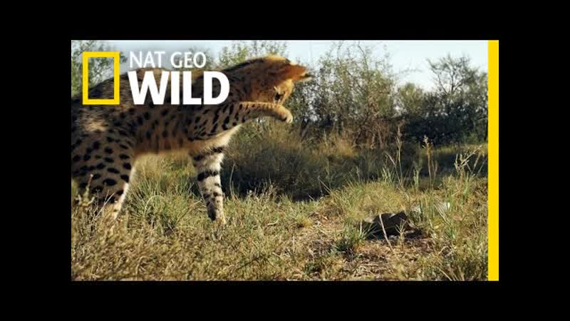Serval vs Snake South Africa National Geographic