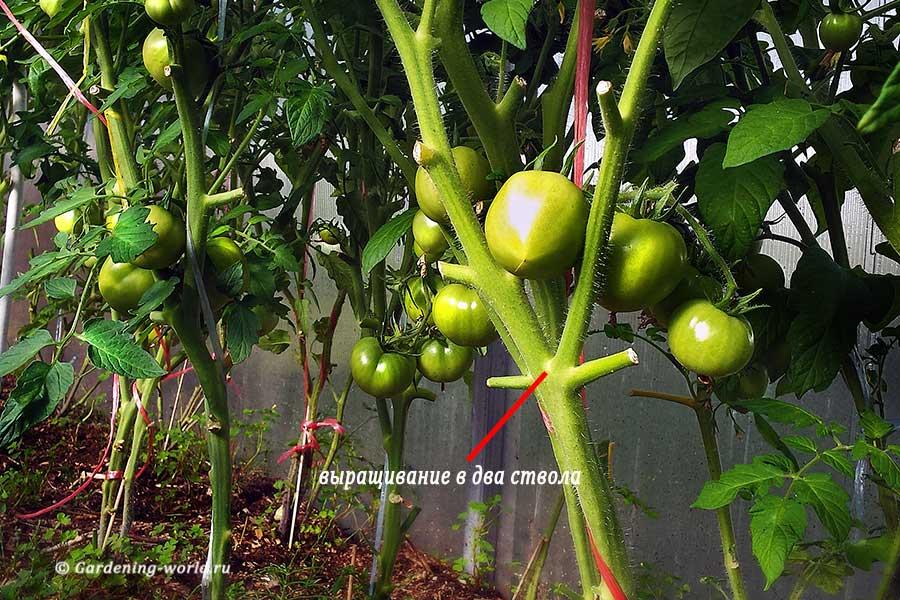 Формирование детерминантных томатов в два ствола