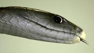 Черная мамба - самая быстрая змея