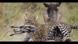 Дикий Кабан Бородавочник против львов крокодилов леопарда и гепарда