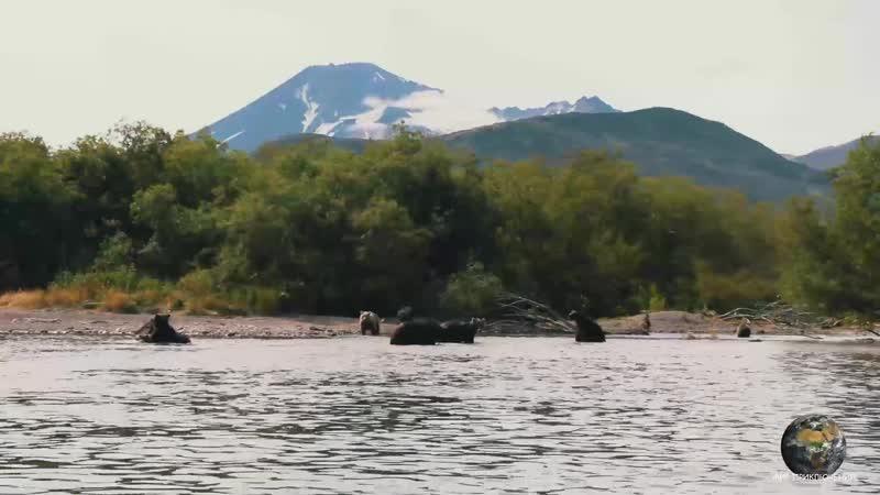 Медвежья рыбалка с близкого расстояния Фрагмент из фильма Камчатка Жизнь на краю Земли
