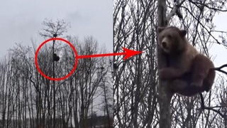 Brave Brown Bear Climbs Up 60ft Tree
