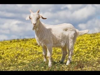 Как я пикапил девочку в 15 лет, а также мотивация от Панды. Goat simulator.