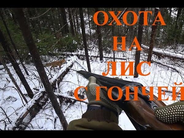 Охота на лис с русской гончей по первому снегу в лесу Кировская область