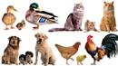 Домашние животные и их детёныши 🐮 Учим животных 🐶 Развивающие мультики 2 🐓 Карточки Домана