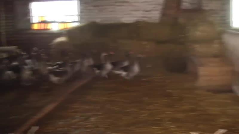 Коллекция гусей из генофонда г. Суздаль 21 порода