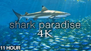 11HRS of 4K Shark Paradise - Undersea Nature Relaxation™ Film + Music by Relax Moods
