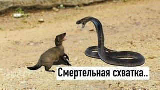 МАНГУСТ против КОБРЫ ! Убийца змей..