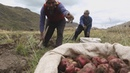 Peru's Potato A starchy spud that adapts to every eco system