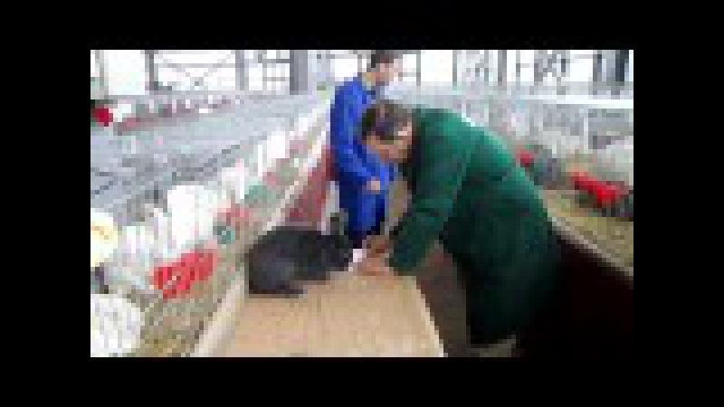 Arbitraj iepuri la expozitia nationala de păsări şi iepuri organizată la Craiova
