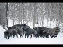 Охота на кабана зимой 2016