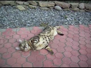 Бенгальский котик Боня радуется лету -