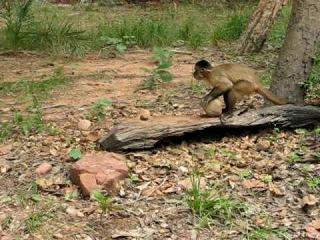 Capuchin Monkey Nut Cracking Tool Use