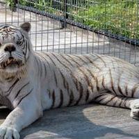 Фонд Спасения Умственно Отсталых Тигров