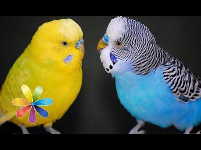 Как выбрать говорящего попугая Все буде добре