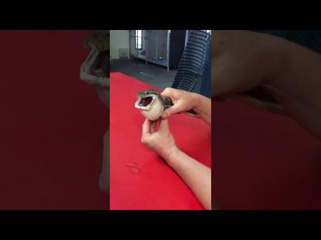 Домашній пітон прийняв тенісний м'яч за їжу й опинився в руках ветеринара