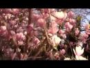 Ялта - Чудо дерево Магнолия Суланжа - Крым апрель 2016