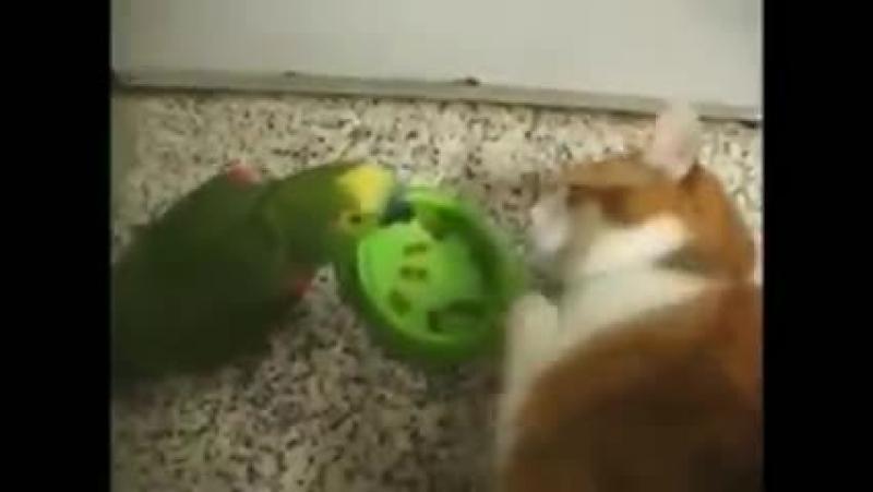Попугай издевается над котом
