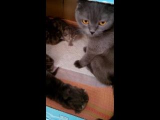 Шотландские котятки)