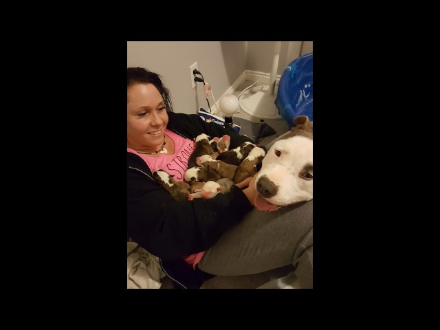 Pitbull Gives Birth to 11 Puppies Gently Places them in 'Foster Mom's' Lap