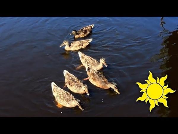 Дикая утка Кряква Кормим уточек Забавные птички ныряют попой кверху и крякают SunVideo