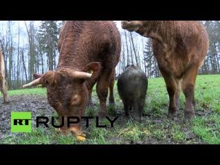В Германии кабан Банан поселился в стаде коров