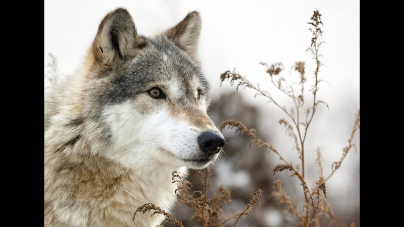 Тропой волка Документальный фильм Film Studio Aves смотреть онлайн без регистрации