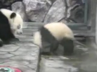 Панды-борцухи)