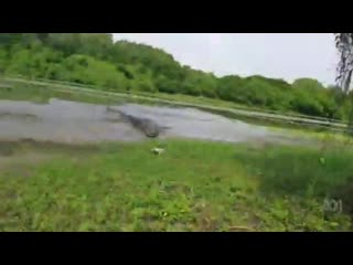 Crocodile steals barramundi from fisherman