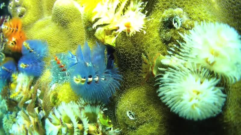 Spirobranchus_giganteus - Трубчатый многощетинковый морской червь или червь «новогодняя ëлка» (лат. Spirobranchus giganteus)