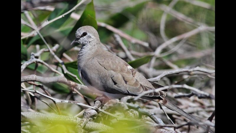 Namaqua dove Oena capensis Linnaeus 1766 Cyprus