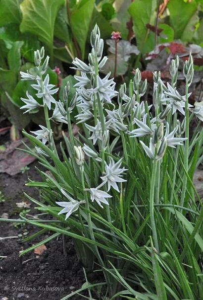 Птицемле́чник (лат. Ornithógalum, Орнитогалум ) неприхотливый цветок для вашего сада. Всего насчитывается примерно 150 видов птицемлечника. Латинское наименование растения состоит из двух слов: