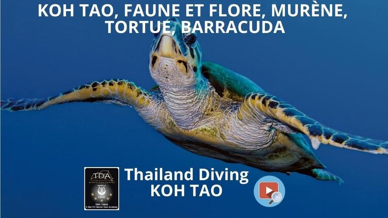 Koh tao faune et flore murène tortue barracuda avec le centre de plongée Thailand Diving Pattaya