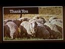 Профилактика и лечение при поражениях мясной мухой у овец / Prevention and Treatment of Blowfly Strike in Sheep