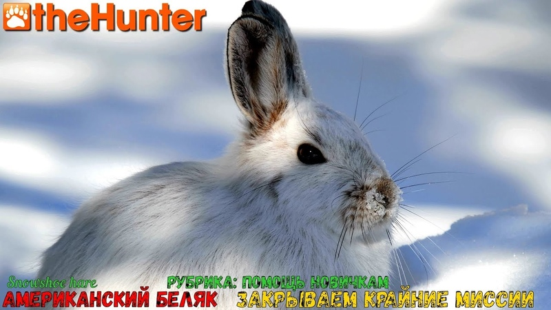 ♢ theHunter Classic ➫ Рубрика Помощь новичкам ♢ Snowshoe Hare missions ℘⓷ ➫ американский беляк ♢