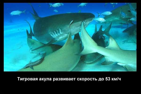 Valteya - Интересные факты о акулах / Хищники морей.(Видео. Фото) - Страница 2 I21vG4o0aDQ
