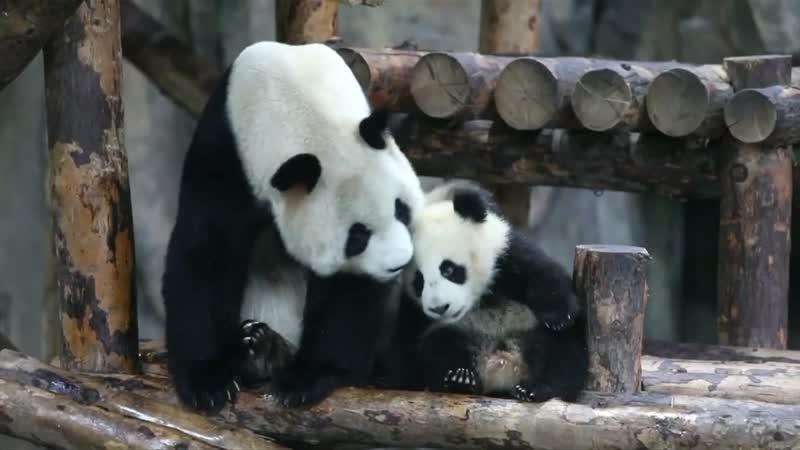 Гигантские панды черно белые звезды Шанхайского зоопарка