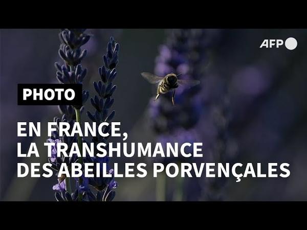 En France, la transhumance des abeilles provençales   AFP Photo