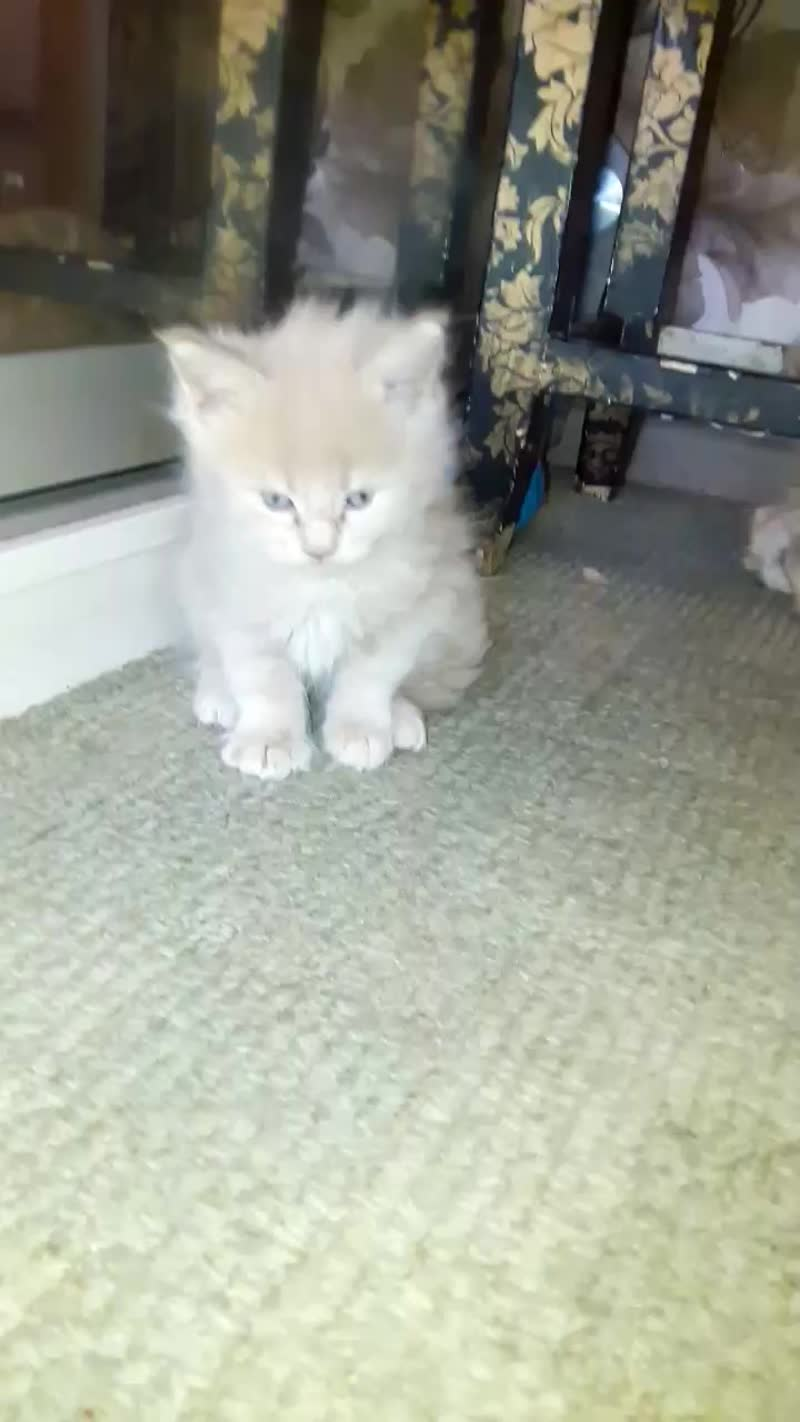 Котята гигантской породы кошек Мейн-кун