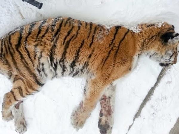 Тигрица пришла к людям в деревню и легла на веранду ждать помощи