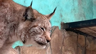 Taigan's Fine Lynxes