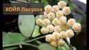 Хойя Лакуноза Hoya lacunosa цветение