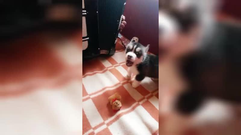 Собака поет под гармошку. Невероятная Поющая собака..mp4