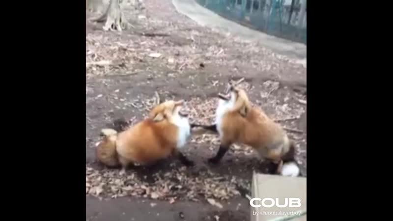 Foxes vs Ghlontebi