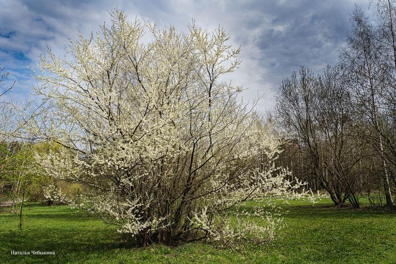 На пике весны появляются цветущие плодовые деревья. «Это особое весеннее чудо — шапки белых цветов на деревьях. Сейчас они вокруг нас в огромном количестве. Стоит только оглянуться. Красота вокруг. А это дерево – пионер. Оно зацвело первым. И стояло одно, как белая невеста посреди поляны», — рассказывает Наталья.
