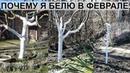 Почему я стала белить деревья в феврале Мои рецепты побелки для деревьев