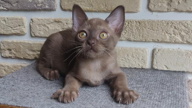 Чейбл Бурманский котик Окрас шампань 2 месяца Burmese kitten