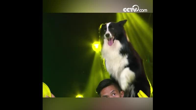 Парень из китайского города Чэнду со своей собакой устроил фрисби-шоу
