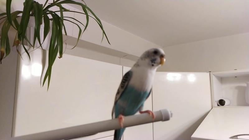 Попугай чирикает под шум воды из под крана птицы попугаи