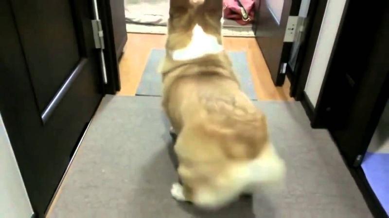 Корги твёрки. собачка тверкает. тверк собачки. собака танцует попой .